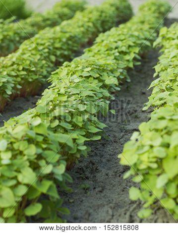 Green field buckwheat. Horticultural rows buckwheat in garden
