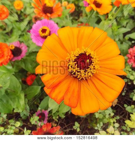 Chamomile, yellow, orange,beautiful, flowers,greeting, summer, sun, greens, magnificent flower fields, inviting greetings in colors,bright, Sunny flowers, orange flower, attractive, magical, fabulous flower.
