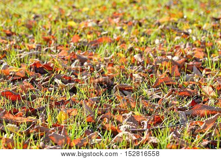Fallen autumn leaves on bright green grass in sunny morning light. Fall season nature background.