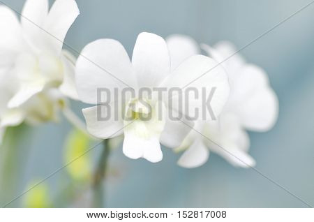 white orchid flower in the garden, orchid
