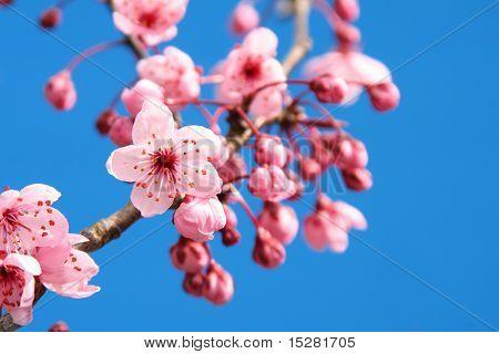 Cherry blossom tegen een heldere blauwe hemel.