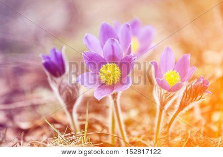 Pasque Flower, Pulsatilla Patens. Pasque Flowers (pulsatilla Patens) On The Field With Grass. Pasque