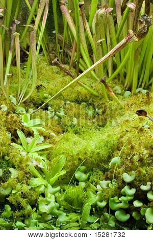 Miniature tropical moss garden with venus fly traps.