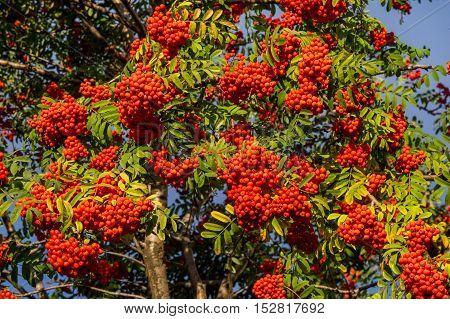 Rowan. The Berries Of Mountain Ash, A Mountain Ash, In Particular The European Sorbus Ausupariya