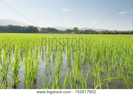 view of  young rice sprouts coming out of flooded   field