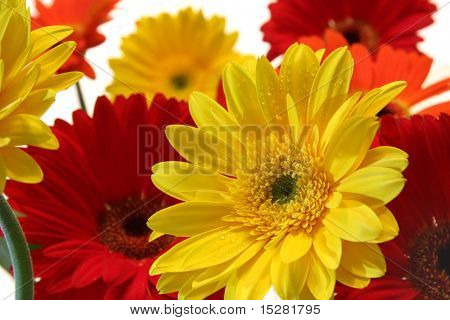 Summer flowers, the gerbera daisy. Water droplets visible at 100%