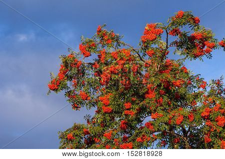 Rowan Early Autumn, The Fruits Of Mountain Ash Scarlet, While The Setting Sun. A Mountain Ash, In Pa