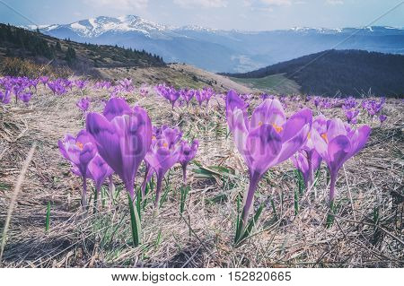 Purple crocus in high mountain, toned like Instagram filter