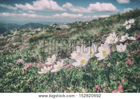beauty white flowers in high mountains, toned like Instagram filter