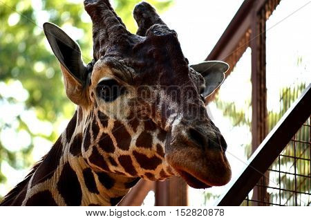 Face of a giraffe. Close-up. A walk in the zoo. The animals in captivity. Summer day. The protection of these animals. Concern about safety of types.