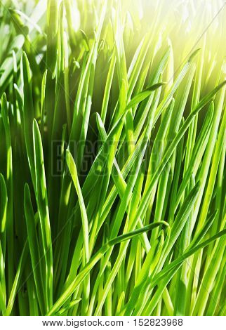 background of a green spring grass nature