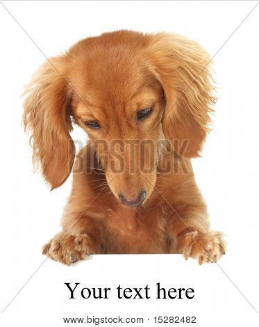 Dachshund puppy topper, looking down at your text or product. Studio isolated.