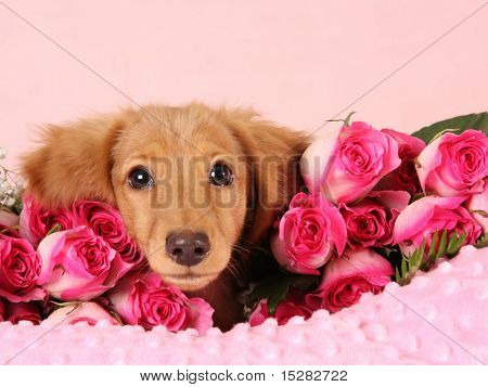 Dachshund puppy surrounded by roses for Valentine's day.