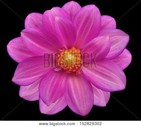 pink flower garden black isolated background with clipping path. Nature. Closeup no shadows. yellow center.