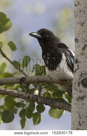 Black-billed magpie sitting on trembling aspen tree branch