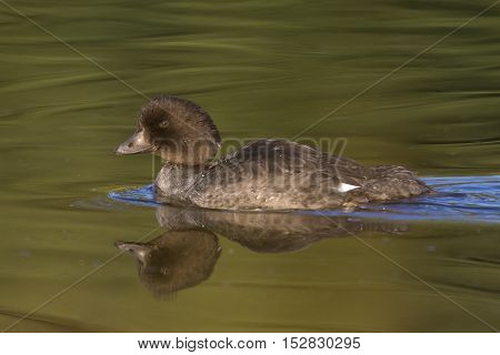 Profile of Goldeneye in calm water with reflection at Schwabacher's Landing
