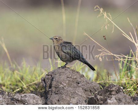 Female Brewer's blackbird on mound of dirt with grass