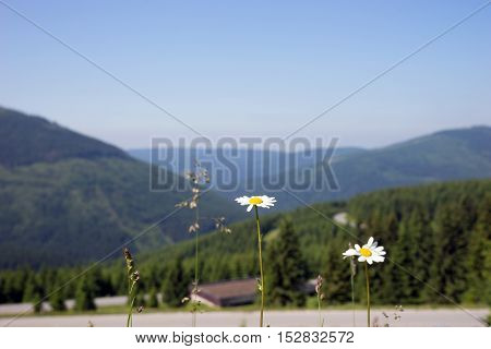 View of the Giant Mountains with flowers in the foreground, Czech Republic