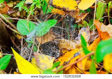 spiderweb with a raindrop on a plants after raining