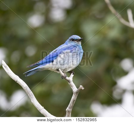 Male mountain bluebird sitting on a branch