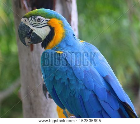 side profile of head and back of perching Blue and Gold Macaw at an aviary