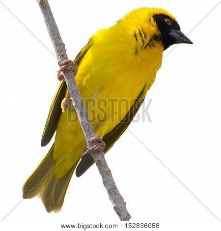 Yellow Weaver Bird In A Tree Isolated