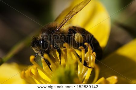 a honey bee pollinating a winter aconite