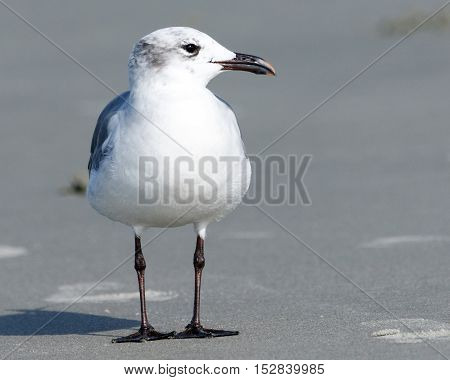 close up of a lone seagull standing on the grey beach sand