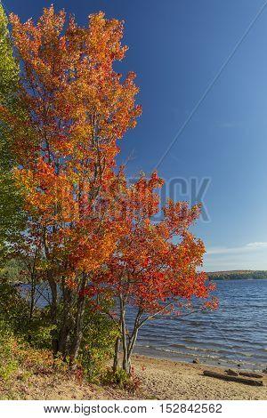 Brilliant Sugar Maple On A Lakeshore - Ontario, Canada