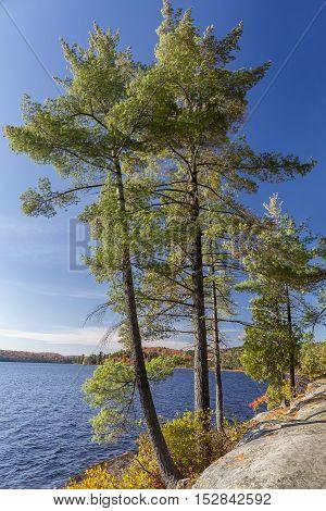 White Pines On A Rocky Lake Shoreline - Ontario, Canada