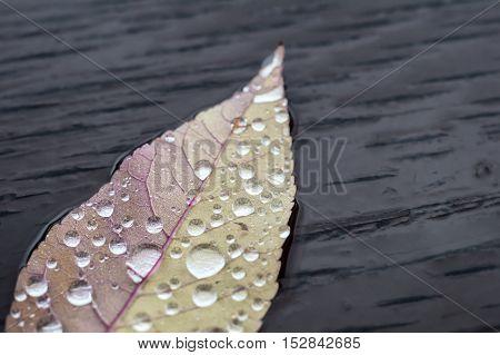 Rain drop on leaf with autumn colors