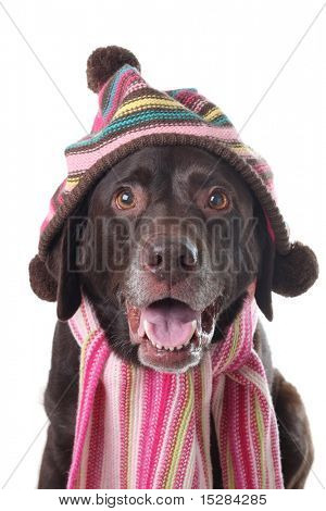 Chocolate lab wearing a knitted hat and scarf.
