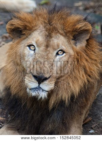 Rare Asiatic lion in the national Park Nayyar Dam, Kerala, India