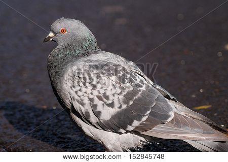 Close up of a beautiful pigeon. Pigeons