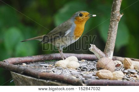 robin bird on forest background (Erithacus rubecula)