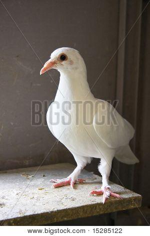 Homing pigeon inside the coop.
