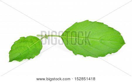 fresh sweet Basil isolated on white background
