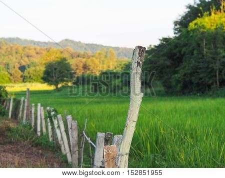 The Wire Barbed fence beside the rice field.
