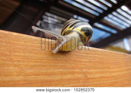 Freshwater garden snail slug slowly crawls on the orange wooden beam
