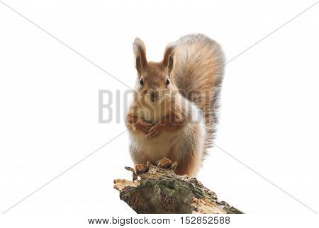 cute red squirrel with bushy tail standing on white isolated background