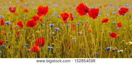 Poppies in the meadow,Wildflowers poppies,panorama of poppies