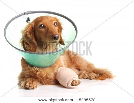 Sick dachshund wearing a funnel collar for a injured leg.