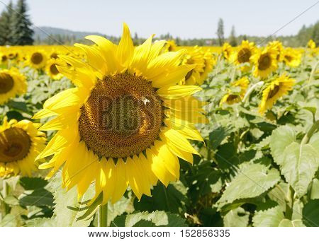 Closeup of Sunflowers being pollinated by bees