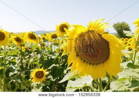 Closeup of Sunflowers