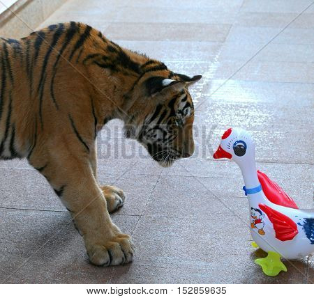 Little tiger playing with inflatable toys, Thailand, Tiger Temple
