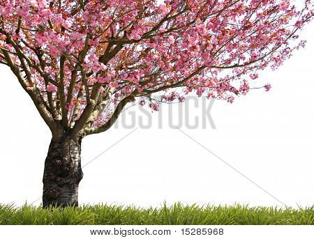 Gorgeous early spring blooming cherry trees in pink.