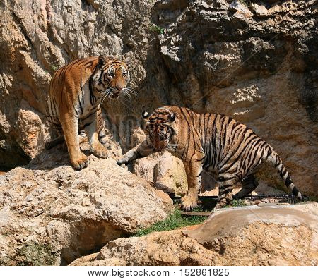 Big tigers on the rock, Thailand, Tiger Temple