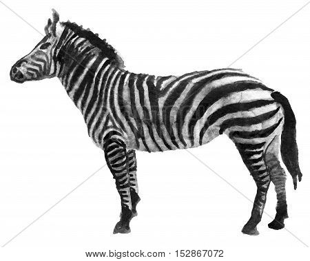 watercolor sketch of zebra on white background