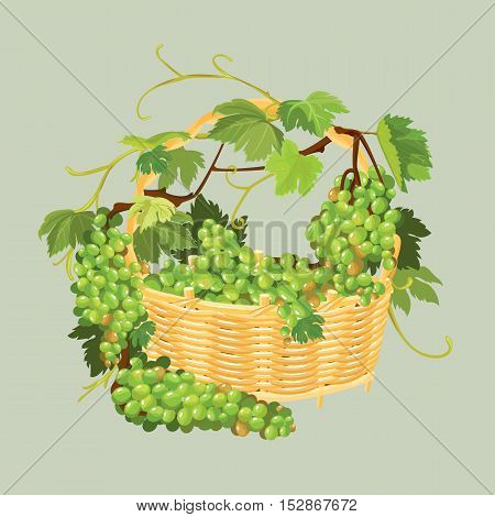 Bunches of fresh grapes in the basket isolated on beige background. Element for restaurant bar cafe menu or label.