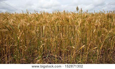 Wheat Fields Agains Cloudy Sky